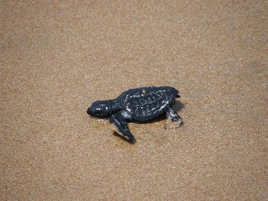 Axim, Ghana: Strand mit Wasserschildkröte