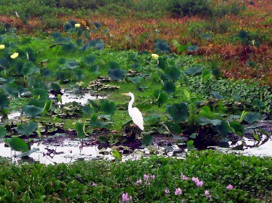 Paynes Prairie State Preserve: Egret