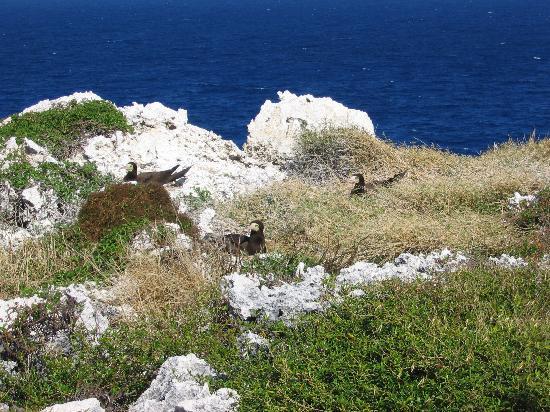 Cayman Breakers Condominiums: Nesting Boobie Birds