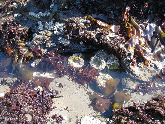 Fitzgerald Marine Reserve Tide Pool With Anemones