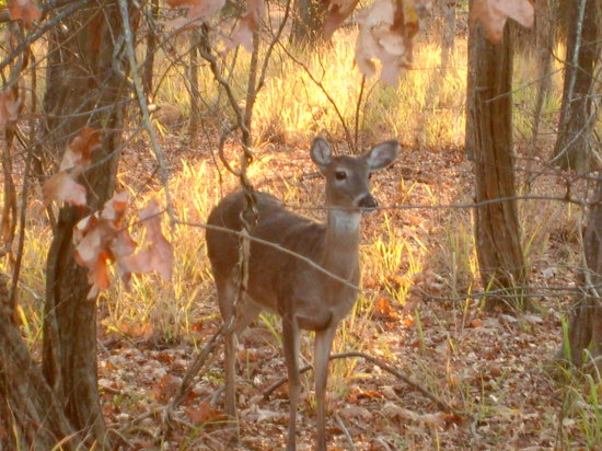 Uchee Creek Army Campground and Marina: Deer closeup