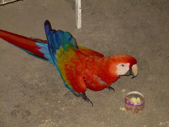 La Chosa del Manglar: Scarlet macaw