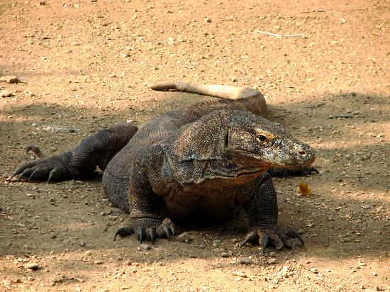 East Nusa Tenggara, Indonesia: Fierce but cool - Komodo Dragon