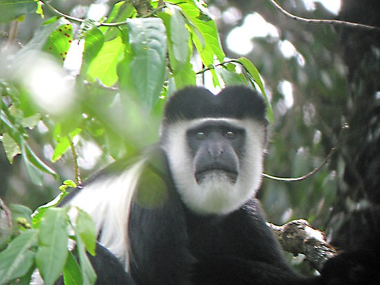 Kakamega, เคนยา: Black and White (Colobus) Monkey