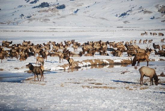National Elk Refuge : Elk Refuge