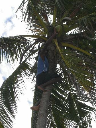 Leopard Beach Resort & Spa: Raccolta di noce di cocco