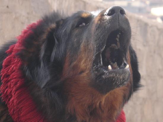 Yushu County, China: Yushu Tibetan mastiff