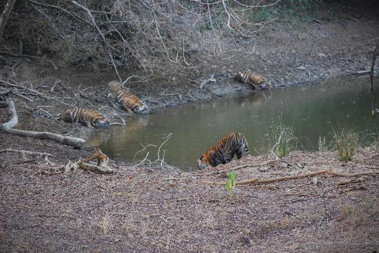 The Oberoi Vanyavilas: Tiger spotting in Ranthambhore
