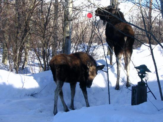 Wildflower Lodge at Jackson Hole: Two Moose Having A Snack