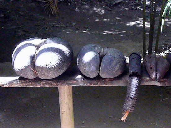 Vallee de Mai Nature Reserve: Coco fesse  et coco mâle de la Vallée de Mai