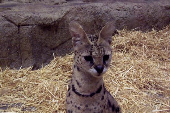 ‪‪Sevierville‬, ‪Tennessee‬: Serval at Rainforest Adventures‬