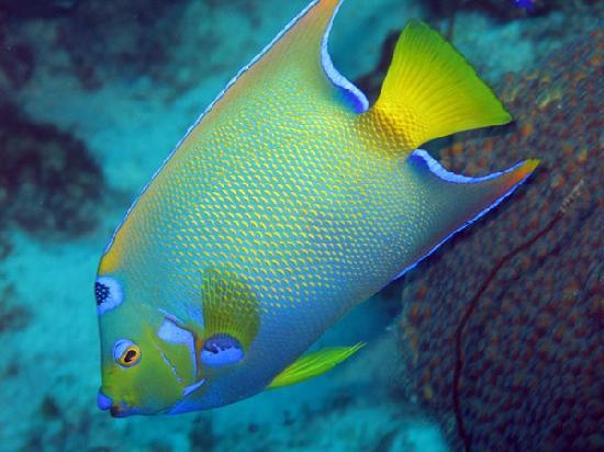 Queen angelfish picture of den laman condominium for Queen angel fish