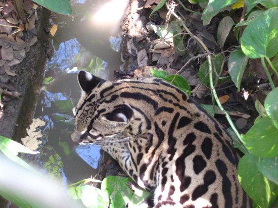 Canas, Costa Rica: ocelot