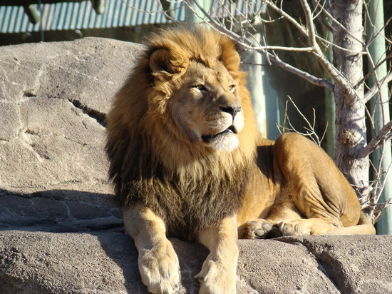 Wichita, KS : Lion has heated rock