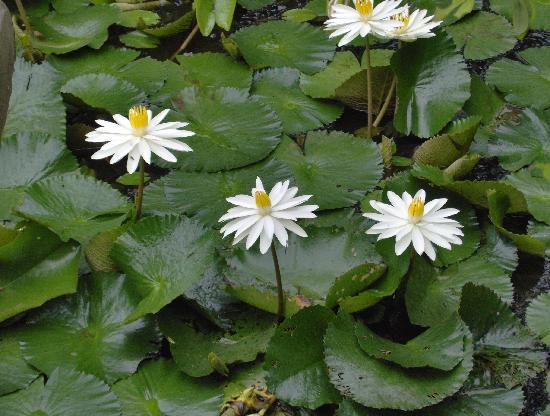 Kubu Bali Hotel: water lillies