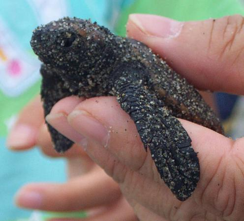 Nakatajima Beach : Turtle hatchlings ready for release