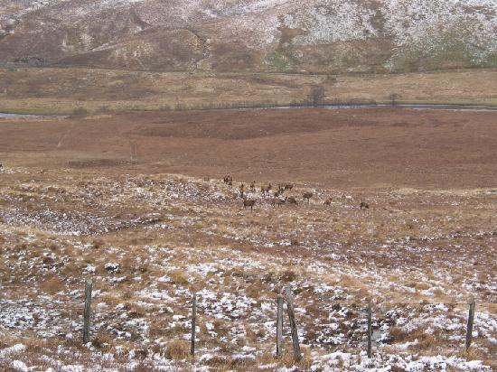 An Stichd Red Deer Picture Of Scottish Highlands