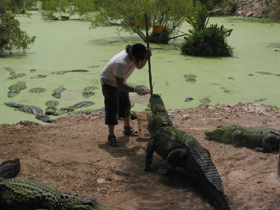 Homestead, FL: Everglades - Alligator Farm - Feeding