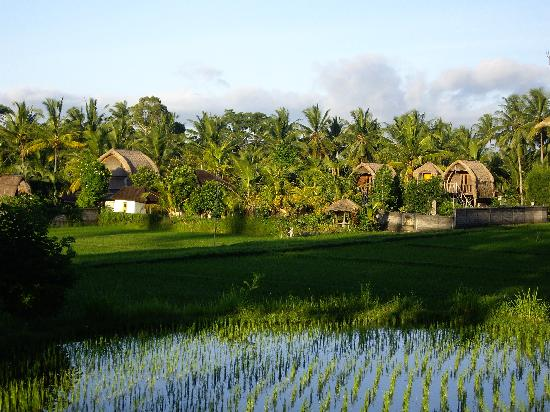 Ubud Sari Health Resort: Rice paddy walks at sunset