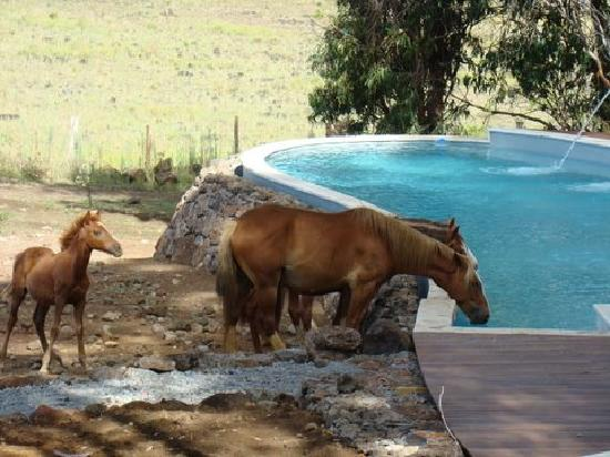 explora Rapa Nui: Horses drinking from pool