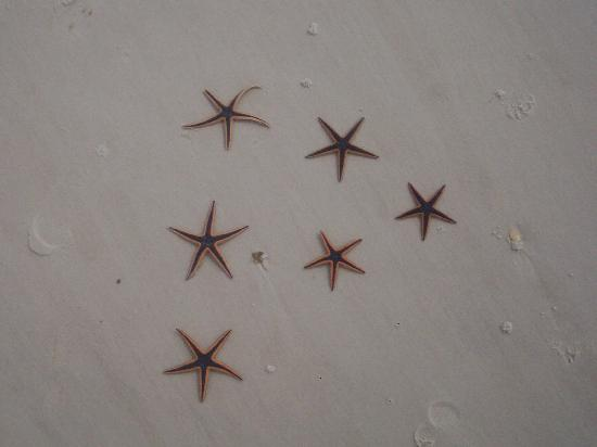 Cape San Blas: Starfish we discovered.