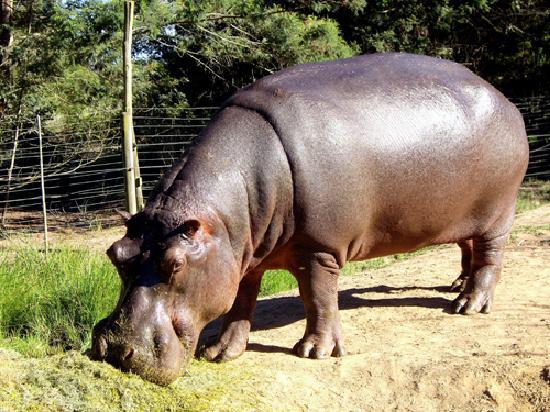 Portland Manor - Historical Country Estate: The resident hippo having breakfast