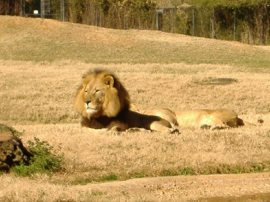 Tyler, TX: Caldwell Zoo Lion