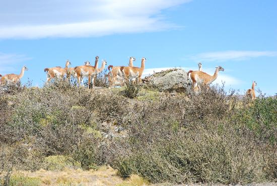 explora Patagonia : Guanocos While Trekking
