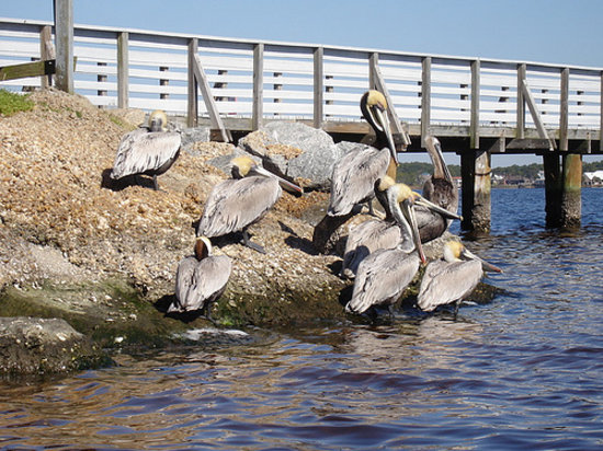 St. Andrews State Park: the Pelicans