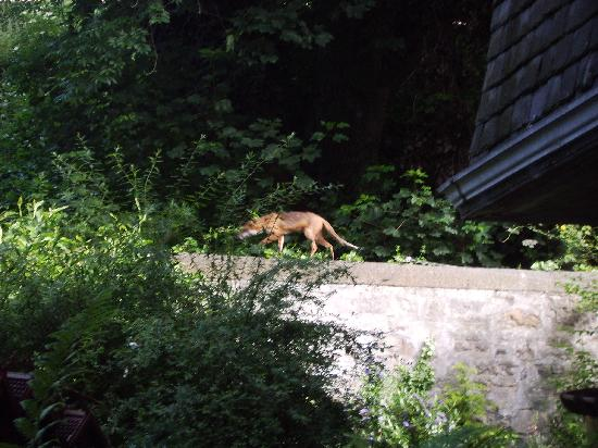 18 Eildon Street : The resident fox.