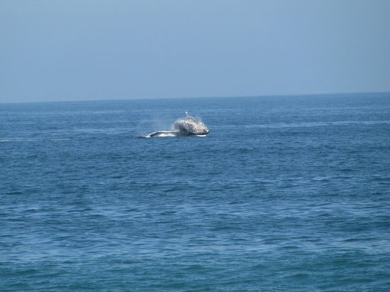 Park Royal Puerto Vallarta : whale pic taken from the hotel beach