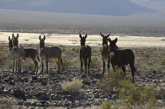 Death Valley Junction, CA: Burros living in Panamint Springs Death Valley