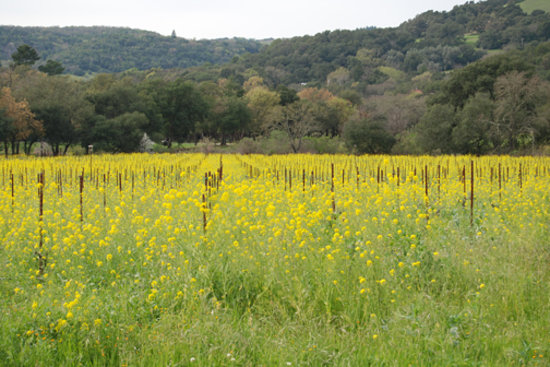 Mustard blooming in Sonoma, Spring 2008