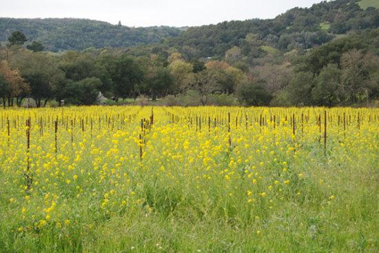 Sonoma, كاليفورنيا: Mustard blooming in Sonoma, Spring 2008