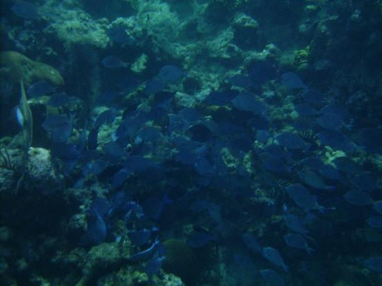 Infinity Bay Spa and Beach Resort: school of blue tangs