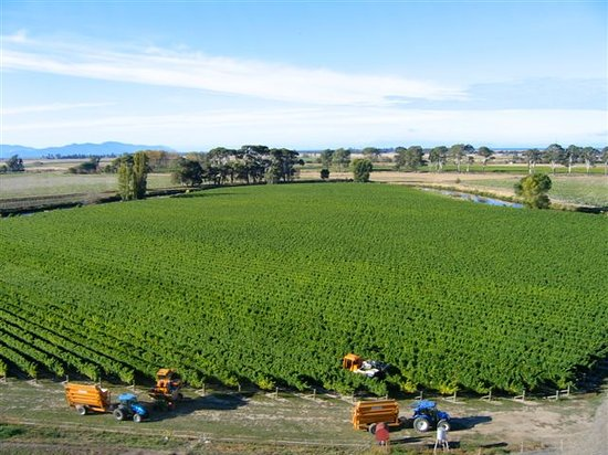 Isla Sur, Nueva Zelanda: grapevine harvest in Marlborough, New Zealand