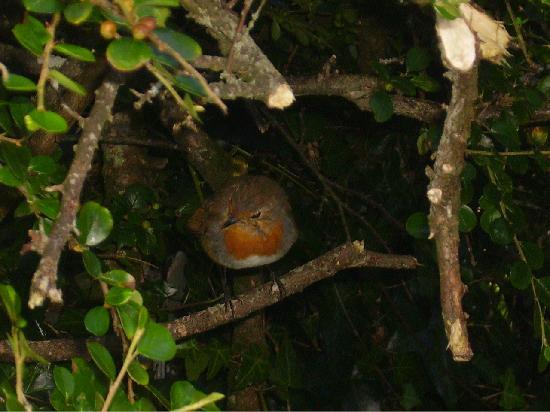 Sligo, Irlande : Friendly Robin in Parkes Castle Grounds