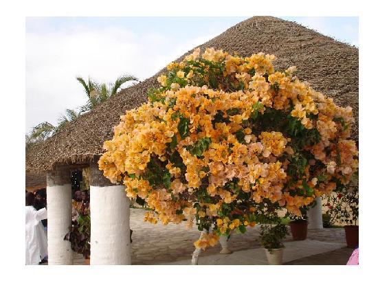 Rufisque, Senegal: Beautiful flowers