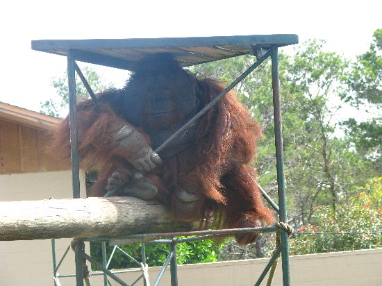 Gulf Breeze, Floryda: Orangutan - he was amazng!!