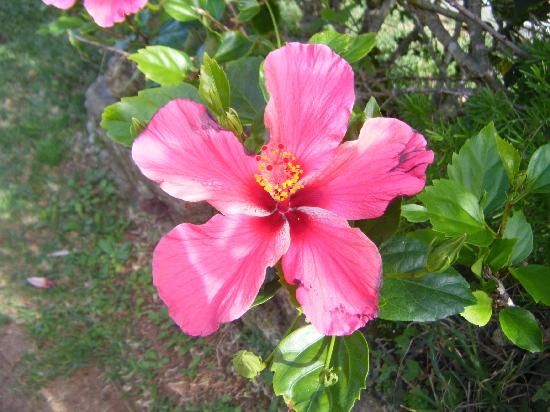 Grape Bay Beach Hotel: hibiscus flowers are everywhere