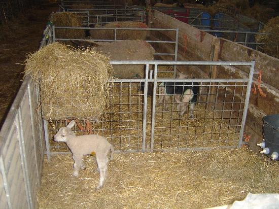 Hearthstone Farm: We were there during lambing