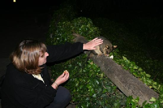 Mount Gambier, Australia: Possum feeding at night, Umpherston Sinkhole, Mt Gambier