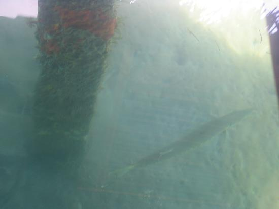 Eclypse de Mar: barracuda through glass coffee table