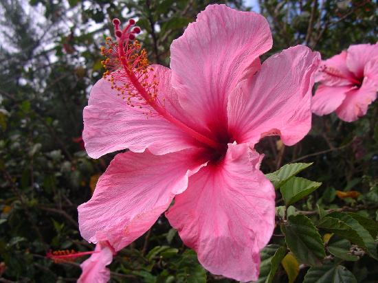 Te'ora: Giant Hibiscus flower