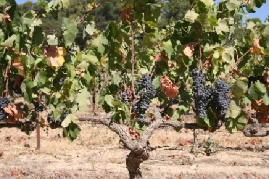 Pertuis, France: Vines