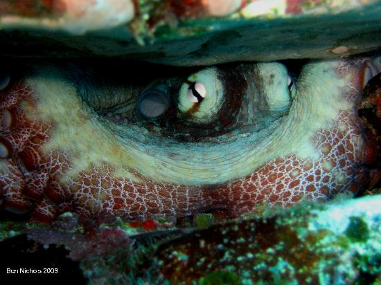 Sao Tome und Principe: Octupus off Sao Tome