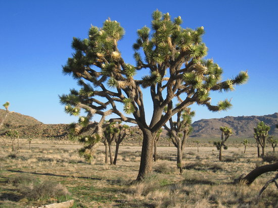 Twentynine Palms, Kalifornien: A nearby Joshua Tree in park