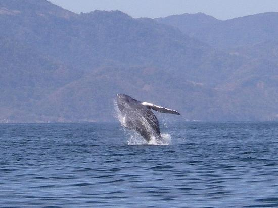 Crown Paradise Club Puerto Vallarta: Whale Watching