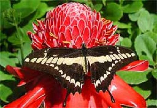 Cockrell Butterfly Center : Thoas Swallowtail Butterfly