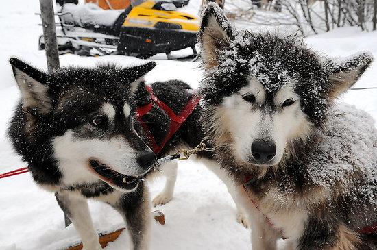 Québec (Stadt), Kanada: Sled dogs